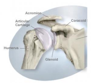 Normal Shoulder Joint